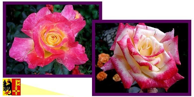 republique-de-geneve-lapej-rose-roses-passion-pave-2.jpg