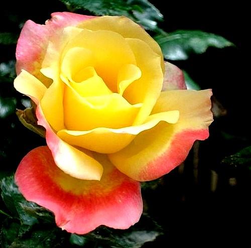 republique-de-geneve-roses-passion-4003.jpg
