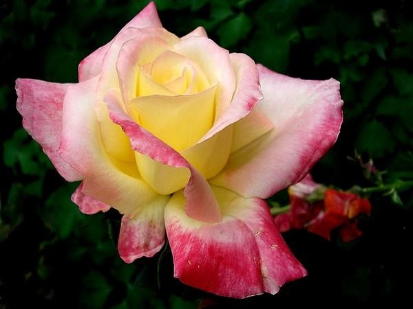 republique-de-geneve-roses-passion-4004.jpg