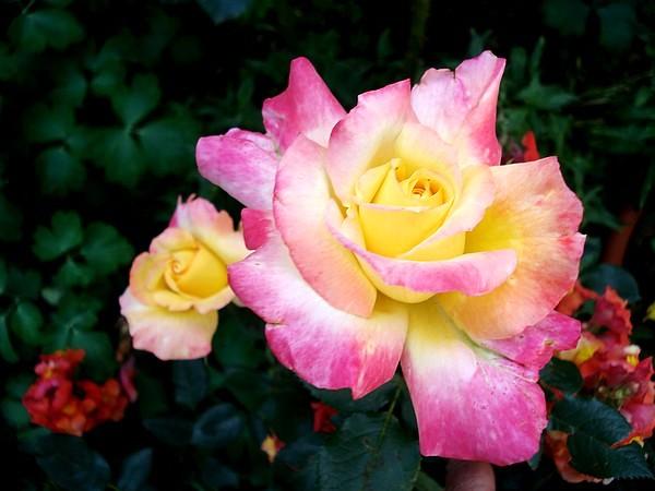 republique-de-geneve-roses-passion-4010.jpg