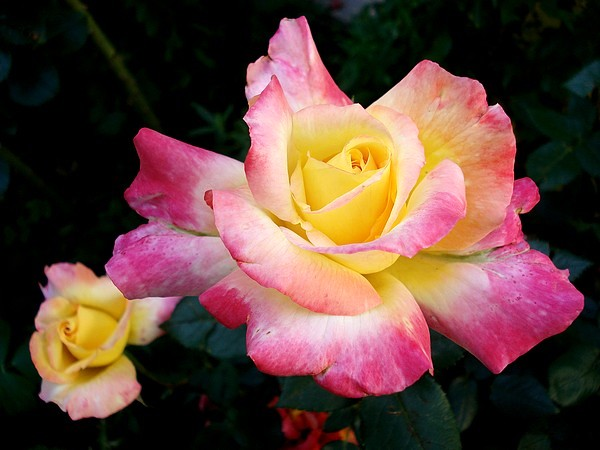 republique-de-geneve-roses-passion-4012.jpg