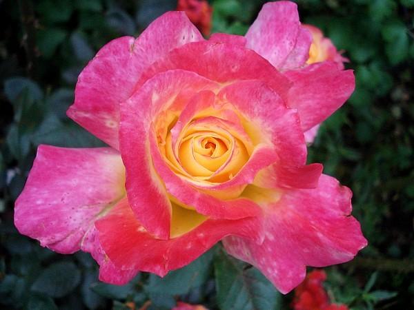 republique-de-geneve-roses-passion-4013.jpg