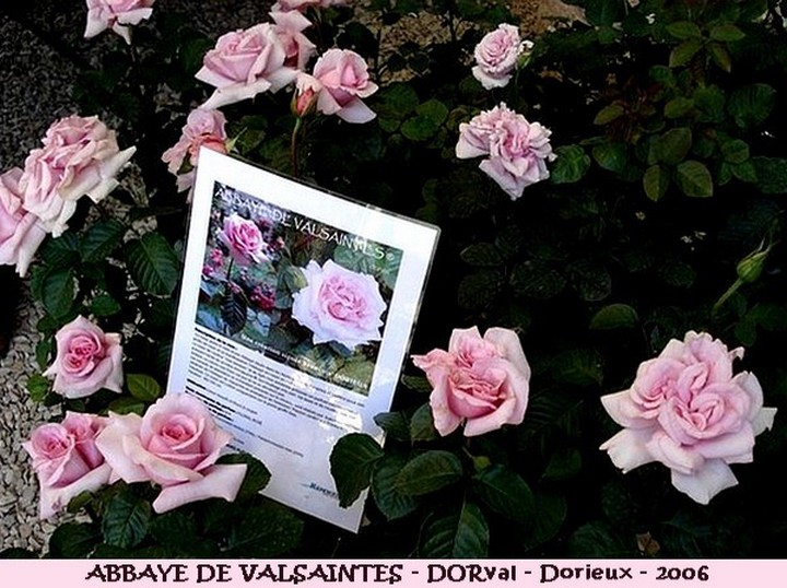 Rose abbaye de valsaintes dorval francois dorieux 2006 roses passion