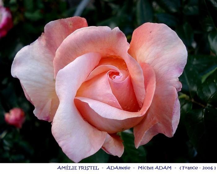 rose-amelie-fristel-adamelie-michel-adam-france-2006-r.jpg