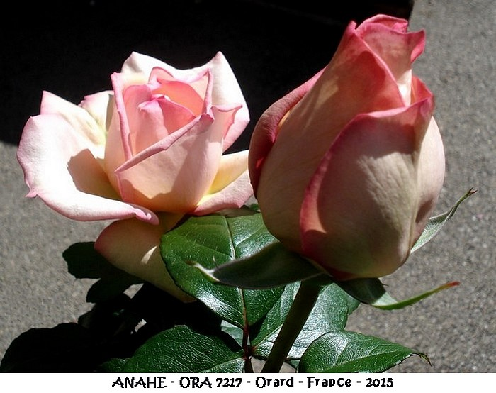 Rose anahe ora 7217 orard 2015 roses passion