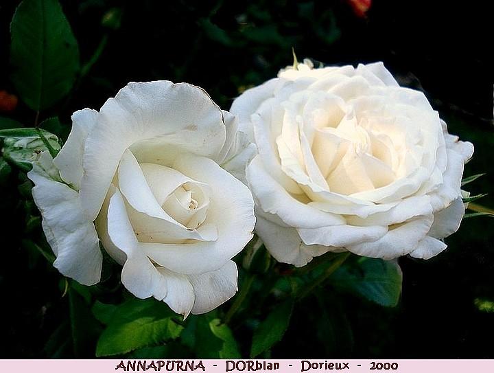 Rose annapurna dorblan francois dorieux 2000 roses passion