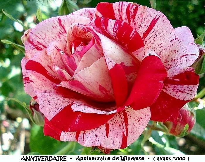 Rose anniversaire anniversaire de willemse avant 2000 roses passion