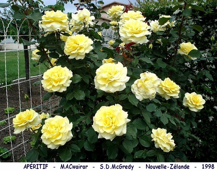 Rose aperitif macwairar s d mcgredy nouvelle zelande 1998 roses passion