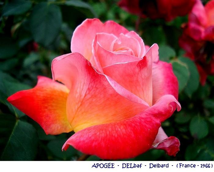 rose-apogee-delbaf-delbard-1966.jpg