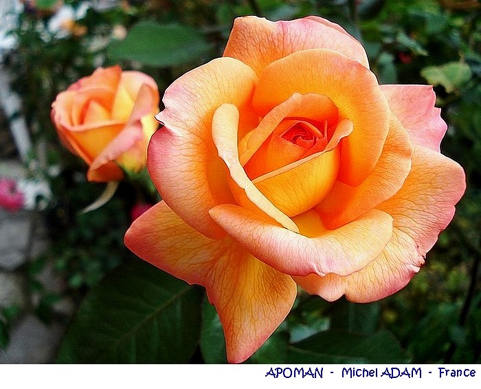 rose-apoman-michel-adam-france-04743.jpg