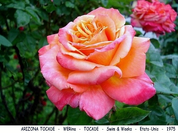 Rose arizona tocade werina tocade swim et weeks etats unis 1975