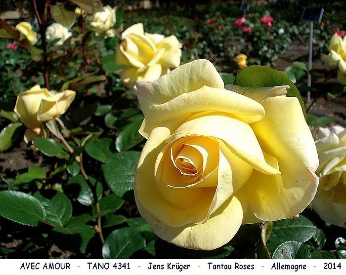 Rose avec amour tano 4341 jens kruger tantau roses allemagne 2014