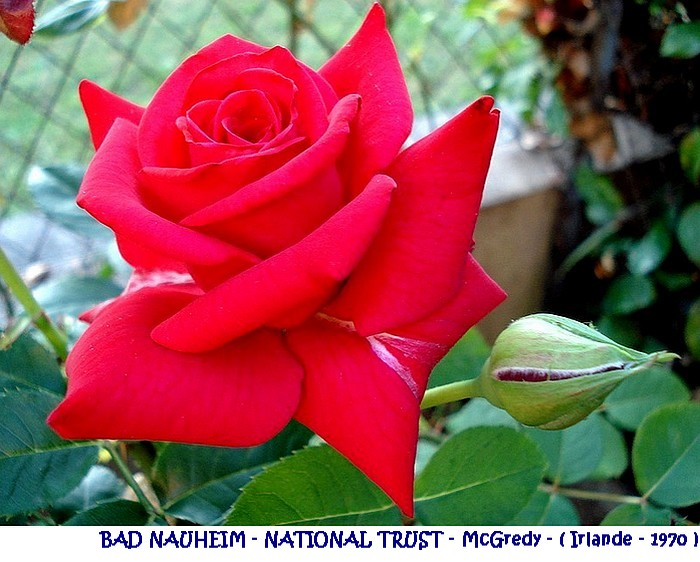 rose-bad-nauheim-national-trust-mcgredy-irlande-1970.jpg