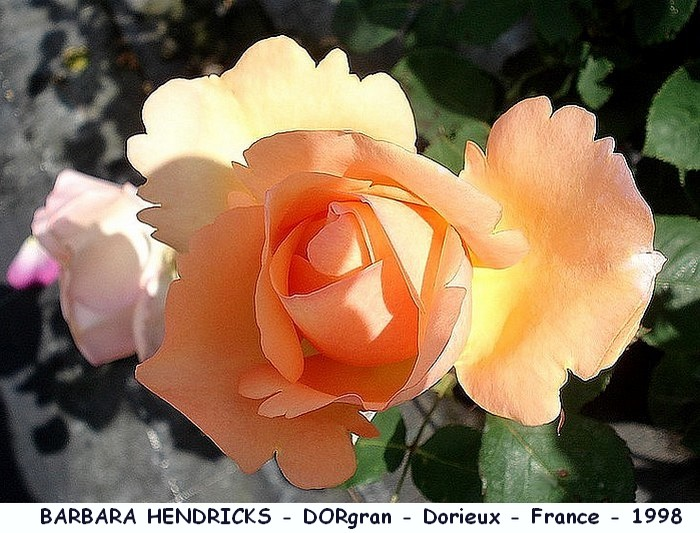 Rose barbara hendricks dorgran dorieux france 1998 roses passion