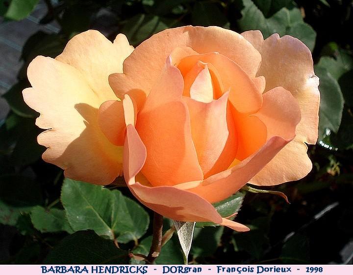 Rose barbara hendricks dorgran francois dorieux 1998