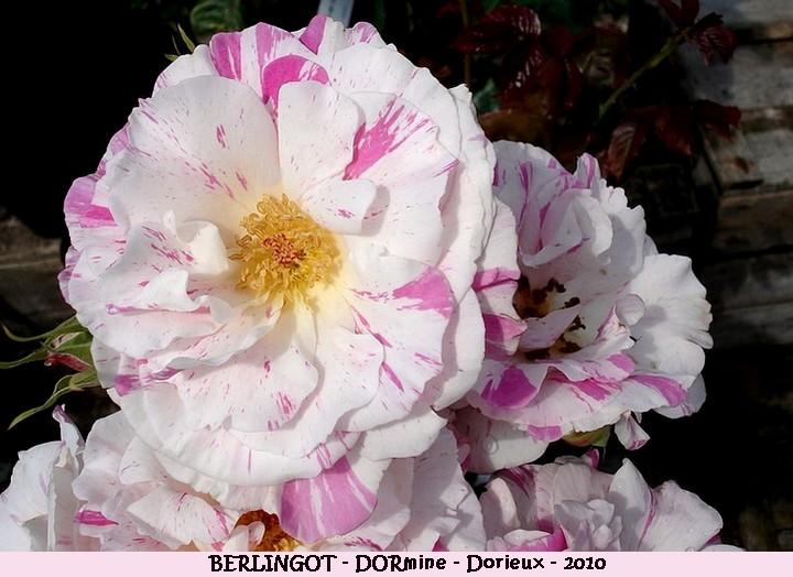 Rose berlingot dormine francois dorieux 2010 roses passion