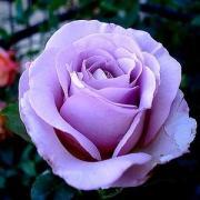 Rose blue girl 4793