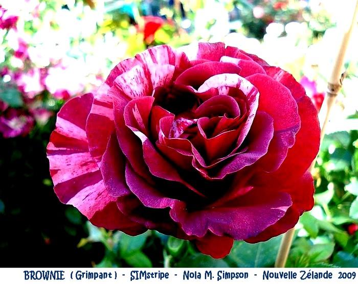 rose-brownie-grimpant-simstripe-nola-m-simpson-nouvelle-zelande-2009.jpg