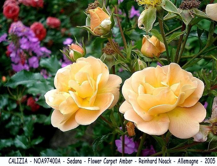 Rose calizia noa97400a sedane flower carpet amber noack allemagne 2005 roses passion