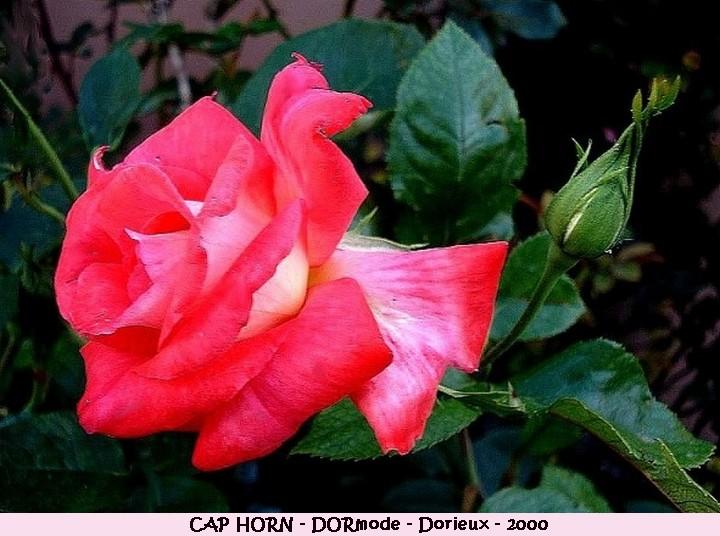 Rose cap horn dormode francois dorieux 2000 roses passion