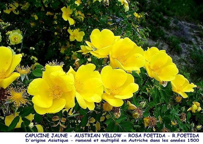 Rose capucine jaune austrian yellow rosa foetida r foetida