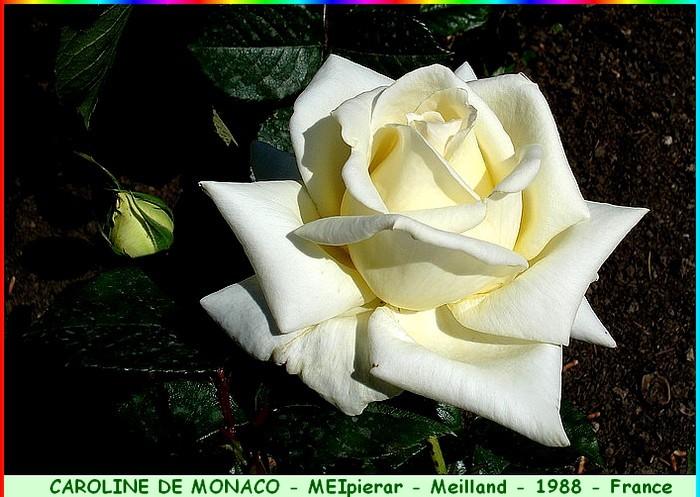 Rose caroline de monaco meipierar meilland 1988 roses passion