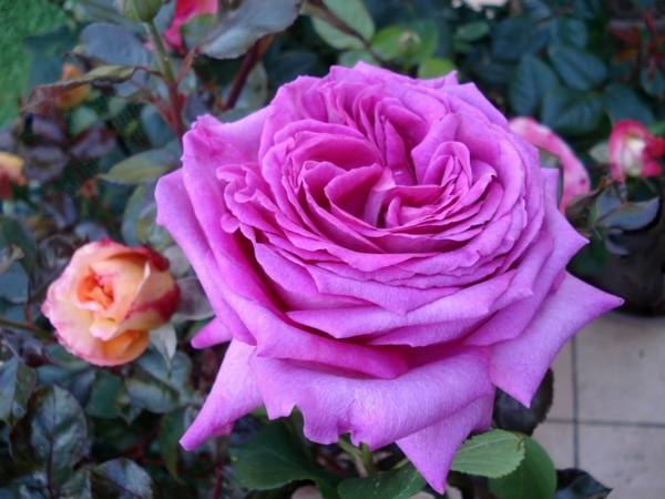 Rose chartreuse de parme delviola 0070 roses passion