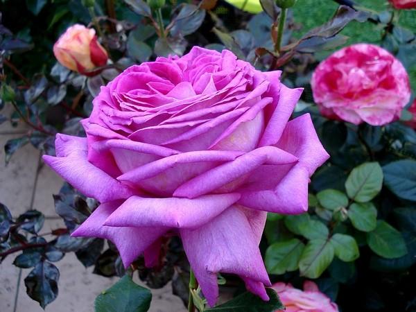 Rose chartreuse de parme delviola 0072 roses passion
