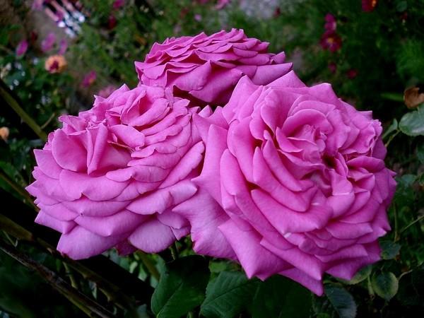 rose-chartreuse-de-parme-delviola-05163.jpg