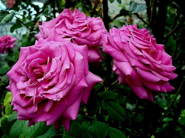 rose-chartreuse-de-parme-delviola-05164.jpg