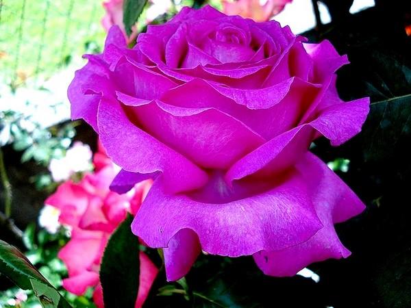 Rose chartreuse de parme delviola 1996