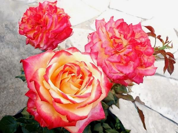 Rose chateau giscours liemeihv 8803