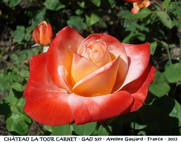 Rose chateau la tour carnet gau 527 aveline gaujard 2012 roses passion