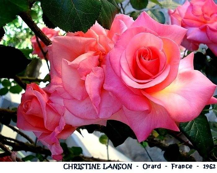 rose-christine-lanson-orard-france-1962-roses-passion.jpg