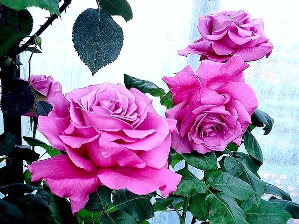 Rose claude brasseur meibriacus 2007