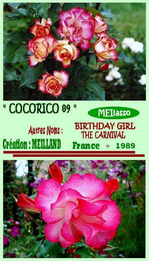 rose-cocorico-89-meilasso-birthday-girl-the-carnival-meilland-roses-passion-2.jpg