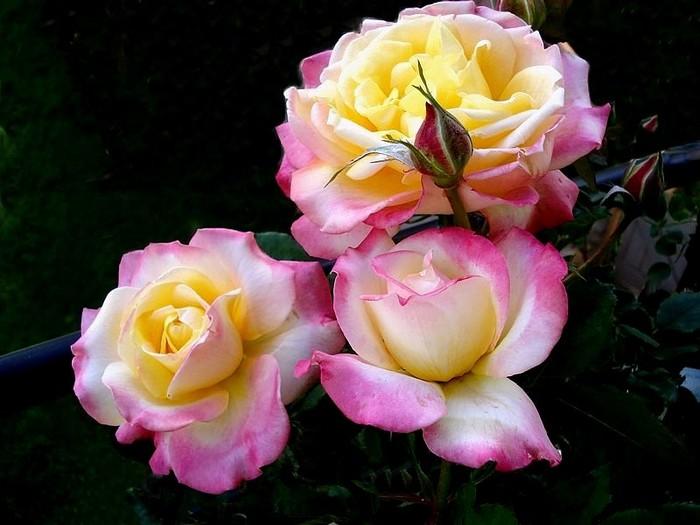Rose concours lepine evecolepi 0230