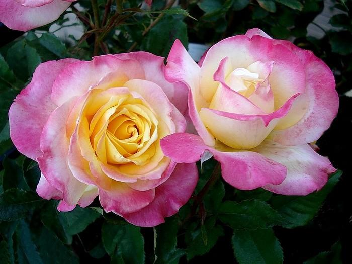 Rose concours lepine evecolepi 0237