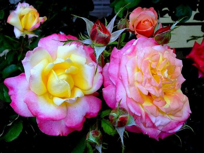 Rose concours lepine evecolepi 0271