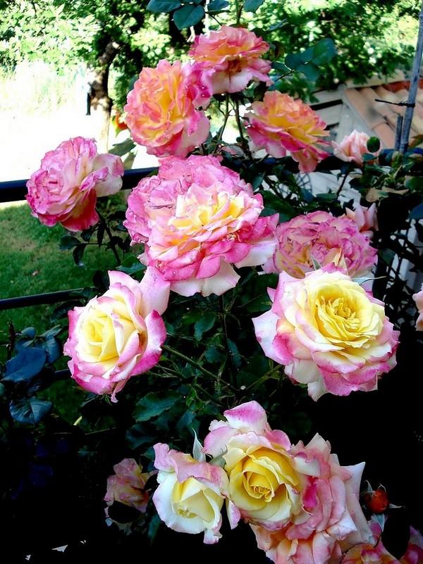 Rose concours lepine evecolepi 0484