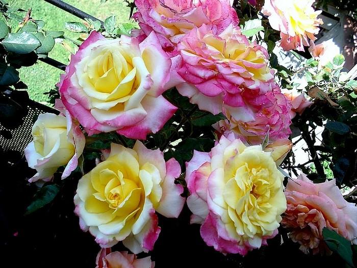 Rose concours lepine evecolepi 0485
