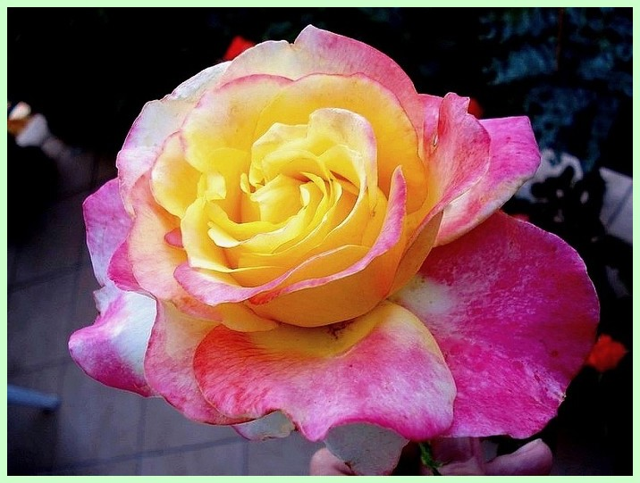 Rose concours lepine evecolepi 07419