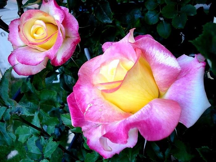 Rose concours lepine evecolepi 7830