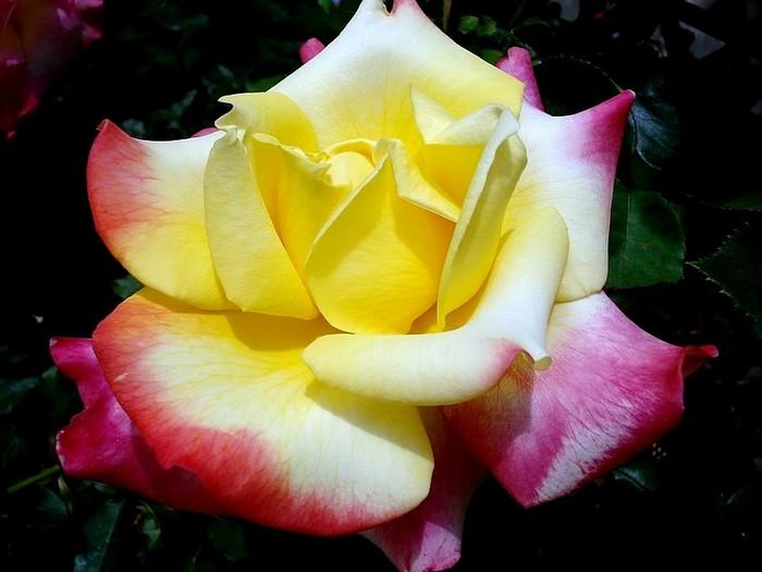 Rose concours lepine evecolepi 7849