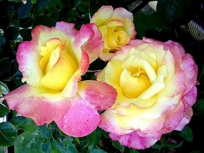 Rose concours lepine evecolepi 8217