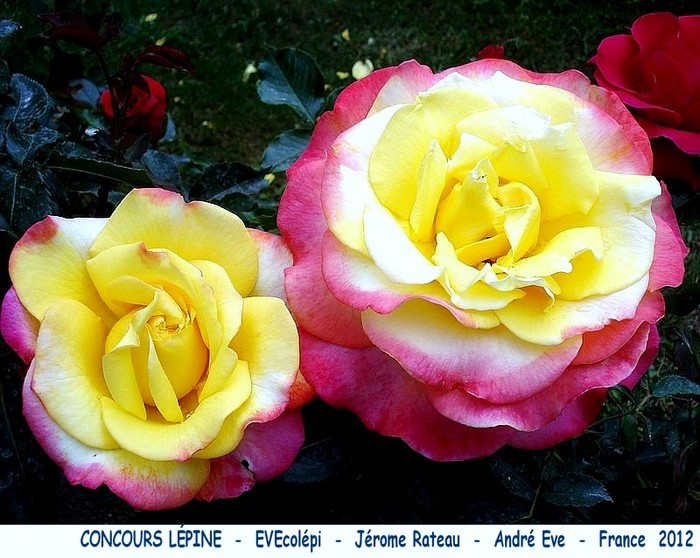 Rose concours lepine evecolepi jerome rateau andre eve 2012