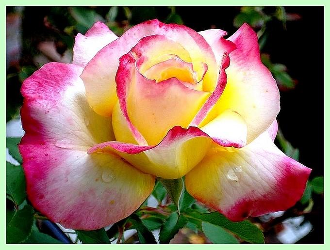 Rose concours lepine evelepi 9213