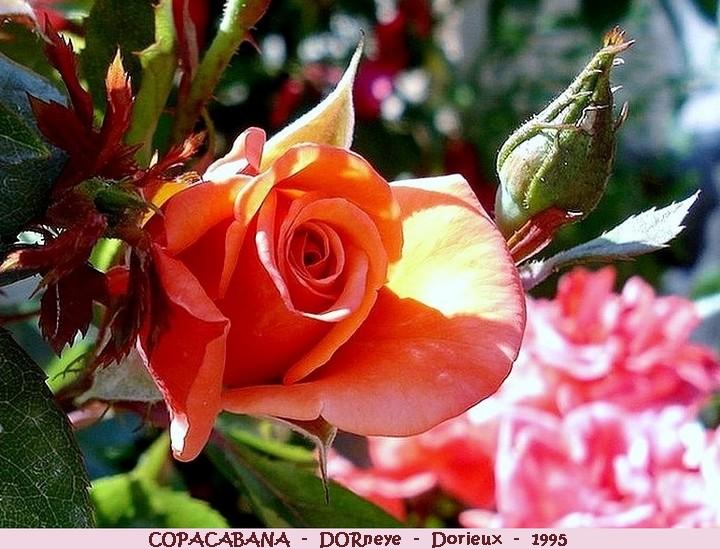Rose copacabana dorneye francois dorieux 1995 roses passion