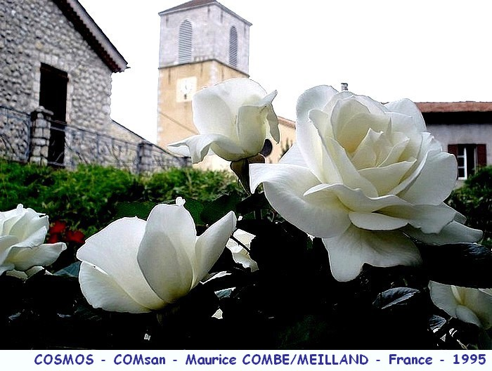 Rose cosmos comsan maurice combes meilland 1995 roses passion