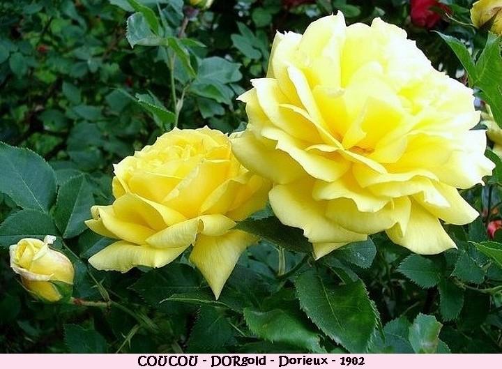 Rose coucou dorgold 1982 francois dorieux roses passion